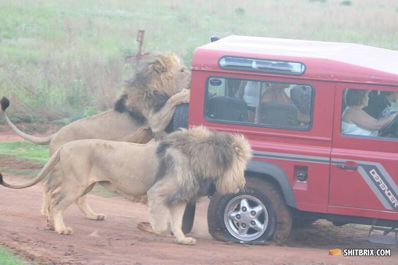 lions porn engine